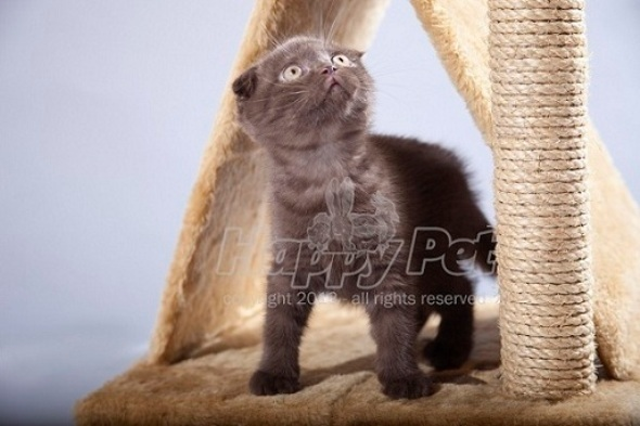 Pisici Scottish Fold